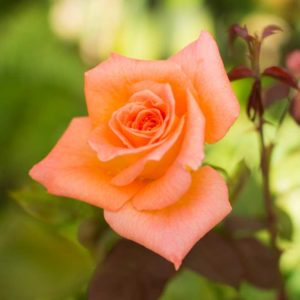 Ambassador - Hybrid Tea Garden Rose Bush