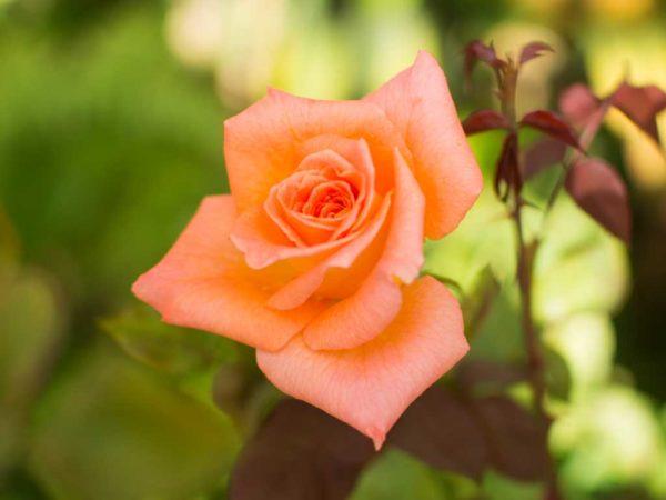 Ambassador - Hybrid Tea Garden Rose Bush