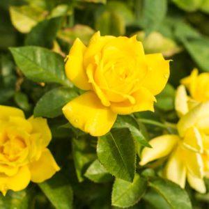 Anthony Meilland - Floribunda Garden Rose Bush