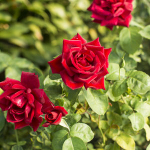 Avon - Hybrid Tea Garden Rose Bush