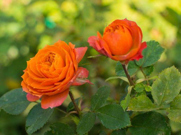Baby Romantica - Floribunda Garden Rose Bush