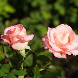 Belami - Hybrid Tea Garden Rose Bush