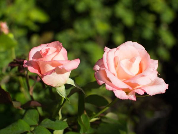 Belami - Hybrid Tea Garden Rose Bush