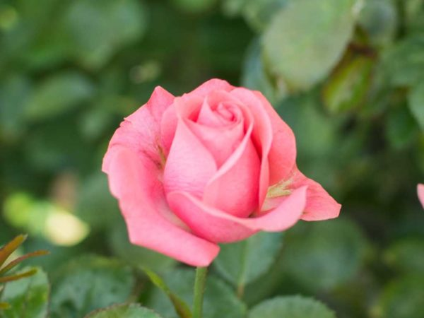 Bella Rosa - Floribunda Garden Rose Bush