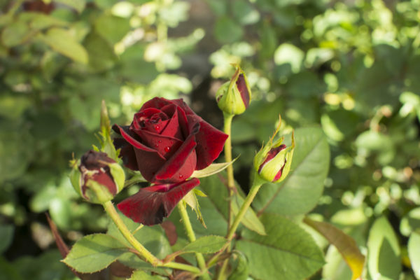 Black Baccara - Hybrid Tea Garden Rose Bush