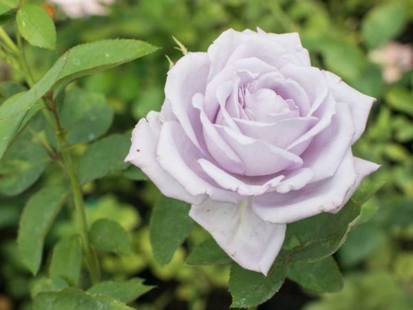 Blue Moon - Hybrid Tea Garden Rose Bush