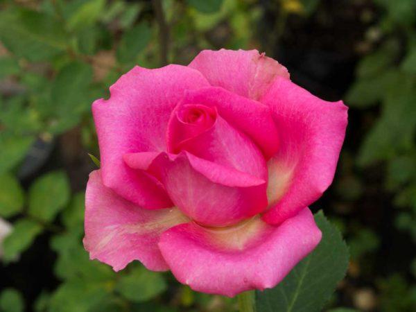 Burning Sky - Hybrid Tea Garden Rose Bush