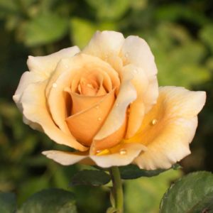 Caffe Latte - Hybrid Tea Garden Rose Bush