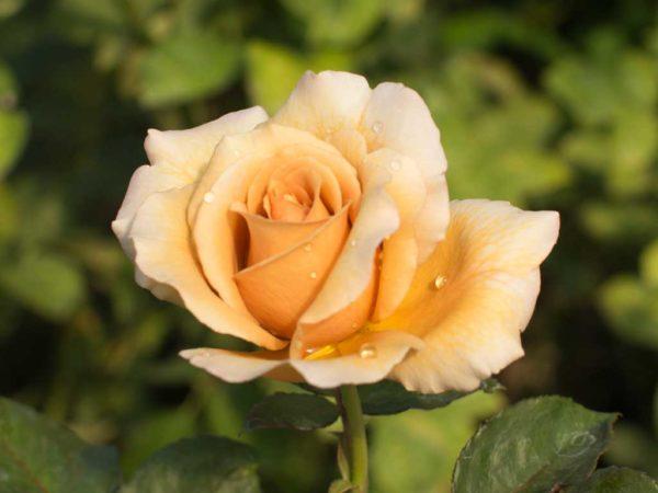 Caffe Latte - Hybrid Tea Garden Rose Bush
