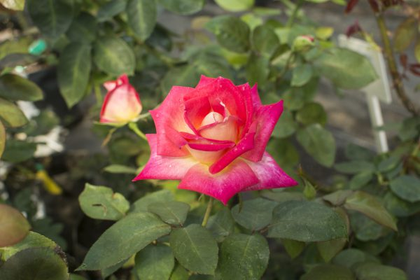 Colorama - Hybrid Tea Garden Rose Bush