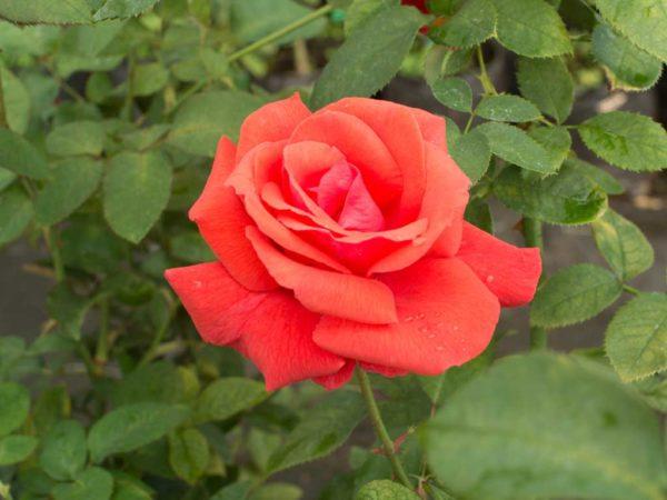 Duftwolke - Hybrid Tea Garden Rose Bush