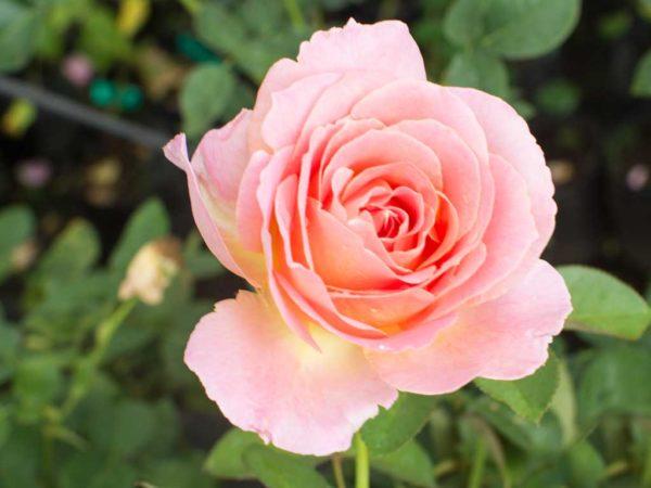 Elle - Hybrid Tea Garden Rose Bush