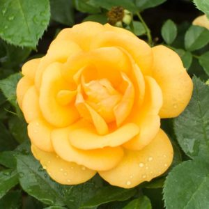 Germiston Gold - Hybrid Tea Garden Rose Bush