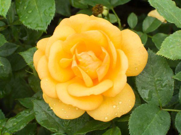 Germiston Gold - Hybrid Tea Garden Rose Bush