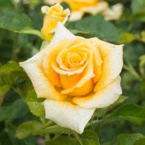 Golden Monica - Hybrid Tea Garden Rose Bush