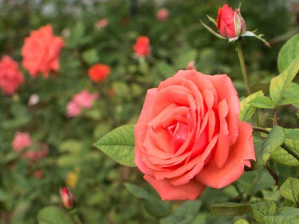 Harmonie - Hybrid Tea Garden Rose Bush