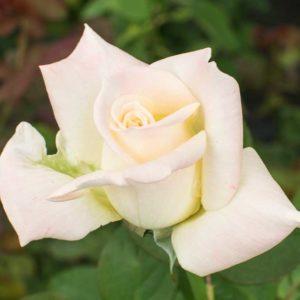 Helen Naude - Hybrid Tea Garden Rose Bush
