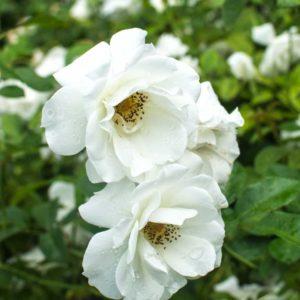 Iceberg - Floribunda Garden Rose Bush