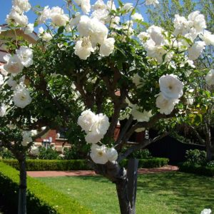 Iceberg - Standard Rose Bush