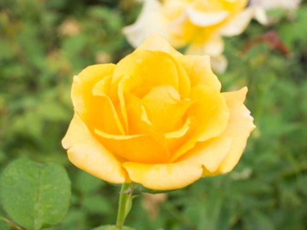 Johannesburg Sun - Hybrid Tea Garden Rose Bush