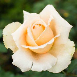 Just Joey - Hybrid Tea Garden Rose Bush