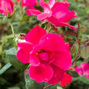 Knock Out - Floribunda Garden Rose Bush