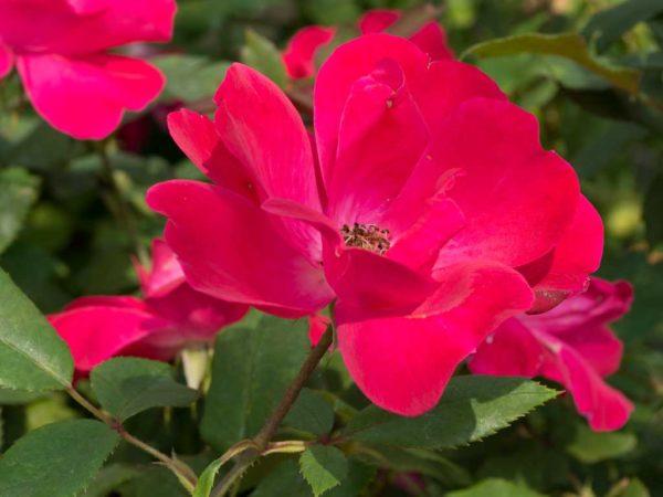 Knock Out - Floribunda Garden Rose Bush
