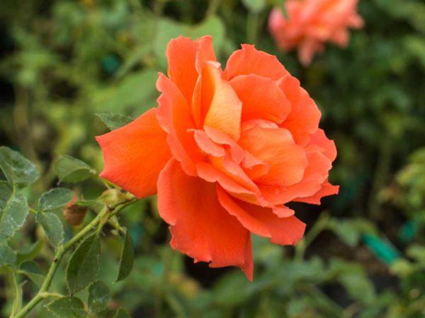 Las Vegas - Hybrid Tea Garden Rose Bush