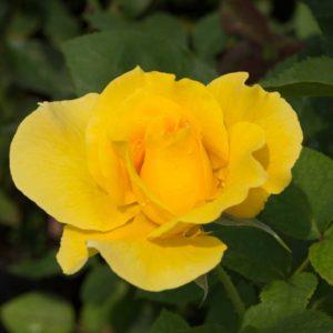 Midas Touch - Floribunda Garden Rose Bush