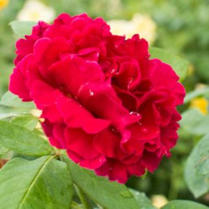 Mr Lincoln - Hybrid Tea Garden Rose Bush