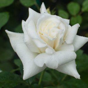 Pascali - Hybrid Tea Garden Rose Bush