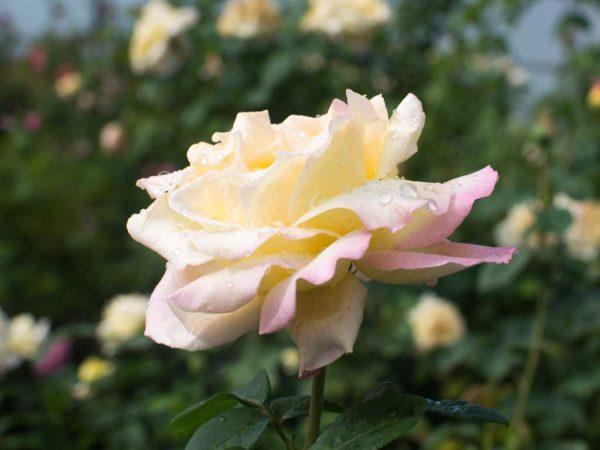 Peace - Hybrid Tea Garden Rose Bush
