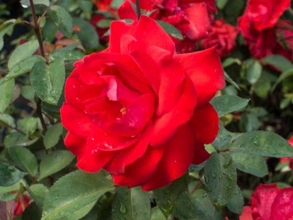 Satchmo - Standard Rose Bush