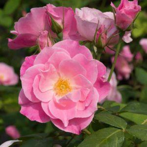 Simplicity - Floribunda Garden Rose Bush