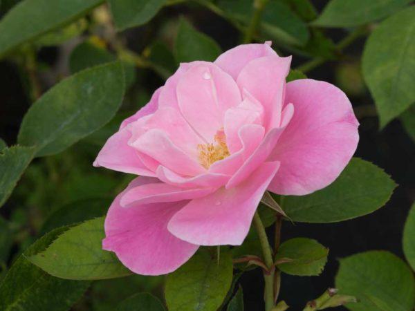 Simplicity - Standard Rose Bush