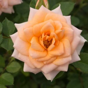 Sunburst Apricot - Miniature Rose Bush