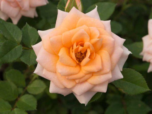 Sunburst Apricot - Miniature Rose Bush
