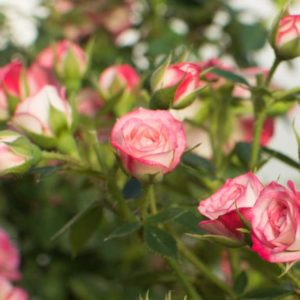 Sunburst Deep Pink - Miniature Rose Bush