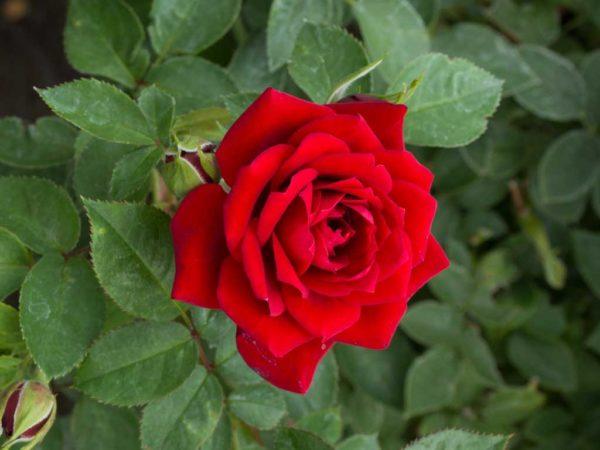 Sunburst Light Red - Miniature Rose Bush
