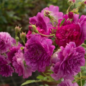Sunburst Mauve - Miniature Rose Bush
