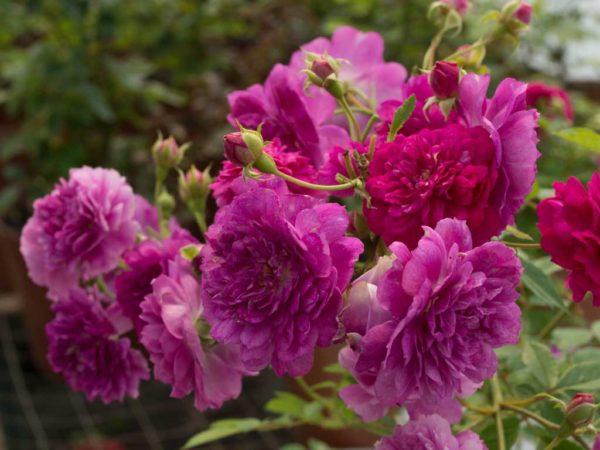 Sunburst Mauve - Miniature Rose Bush