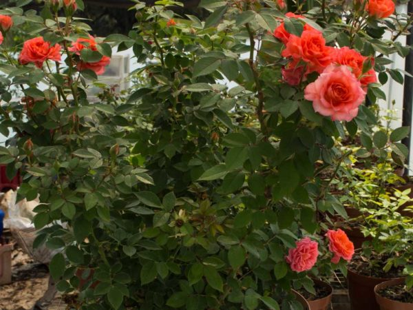Sunburst Orange - Miniature Rose Bush