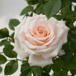 Sunburst Pale Pink - Miniature Rose Bush