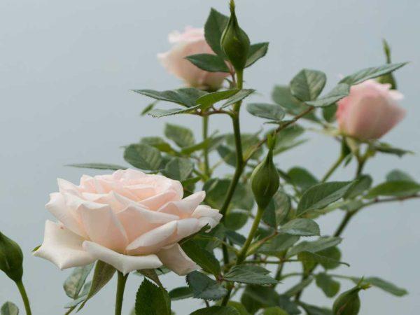 Sunburst Pale Pink - Miniature Rose Bush