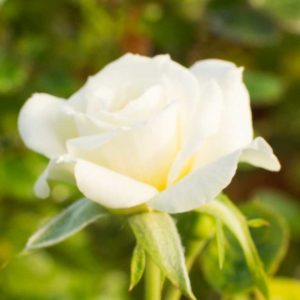 Sunburst White - Miniature Rose Bush