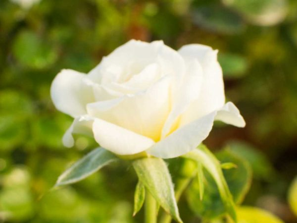 Sunburst White - Miniature Rose Bush