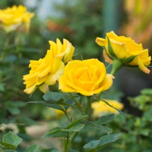Sunburst Yellow - Miniature Rose Bush