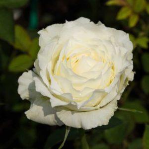 Tineke - Floribunda Garden Rose Bush